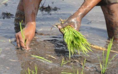El ciclo del cultivo del arroz del Estado de Morelos